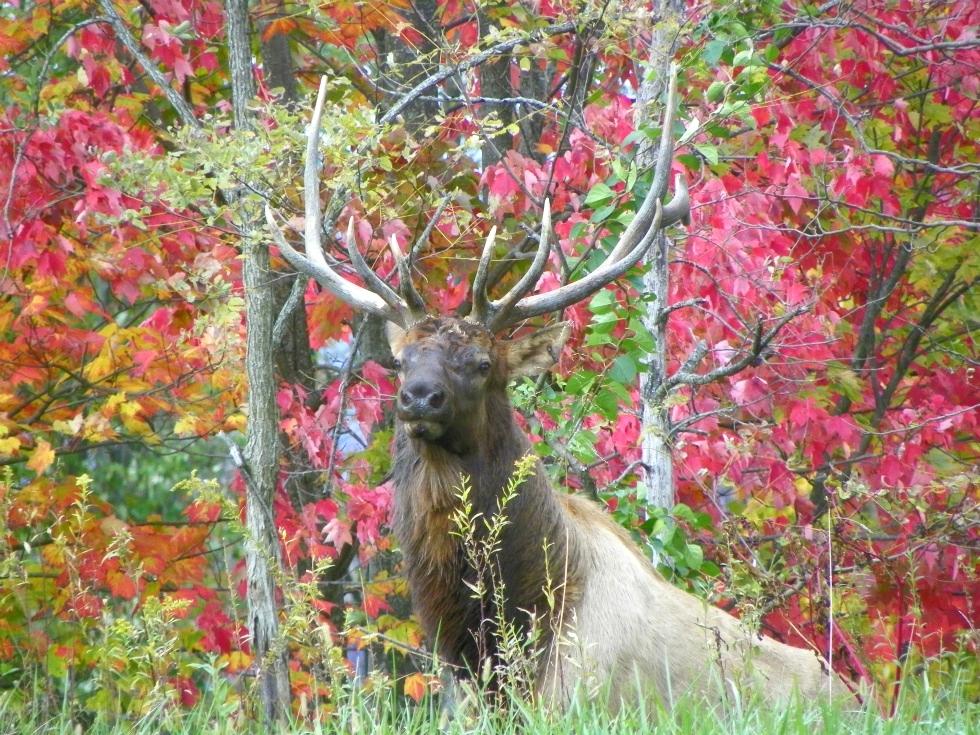 Jane Lewis Tennessee Elk