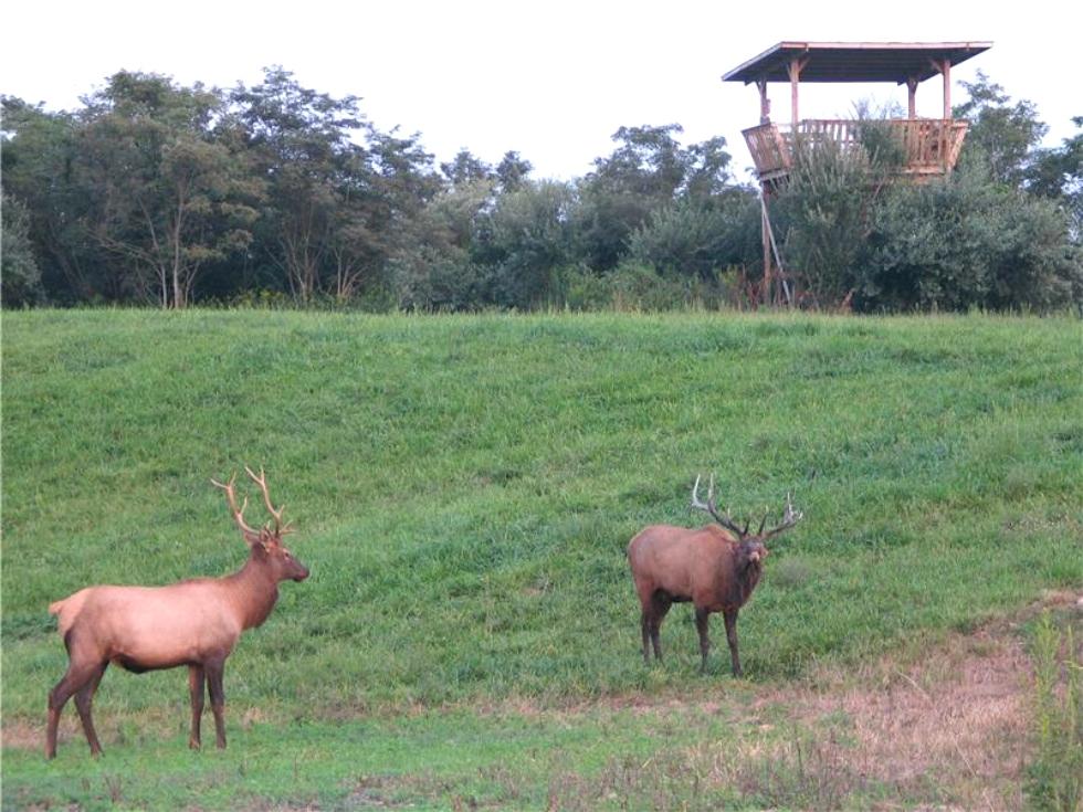The Chattanoogan: 10 Years Of Elk Viewing Experiences Tennessee Elk
