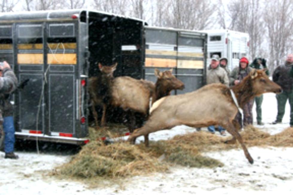 Elk Released at Royal Blue WMA Tennessee Elk