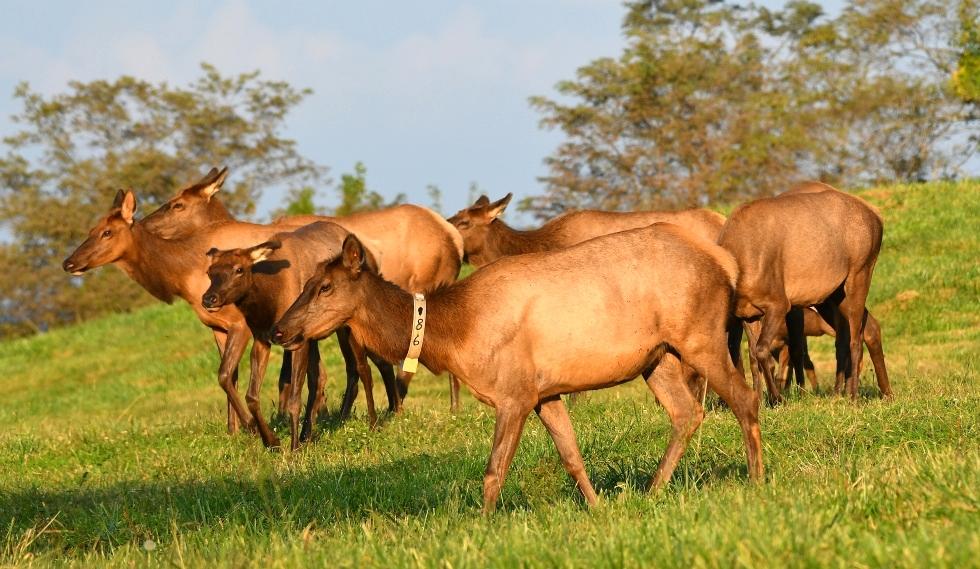 Dr. David Sloas Wildlife Photography Tennessee Elk