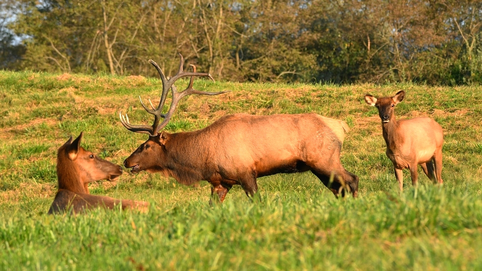 Dr. David Sloas Wildlife Photography Tennessee Elk